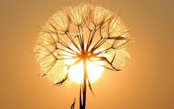 Meski Sederhana, Bunga Dandelion Menyimpan Makna yang Menyentuh Hati.