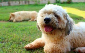 110+ Nama Anjing Jantan Terbaik dan Terpopuler Lengkap Dengan Artinya