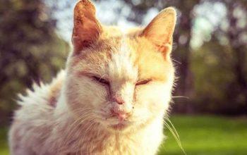 Minyak Goreng Solusi Scabies Kucing