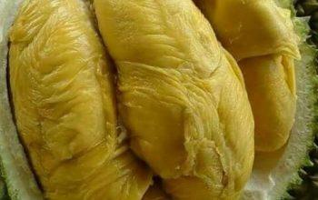 5 Karakteristik Keunggulan Durian Montong, Durian Import dari Thailand